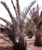Bayod wilt in date palm