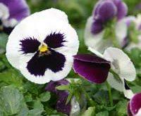 زهرة البانسيه