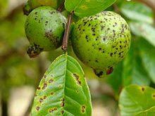 طحلب يصيب الجوافة