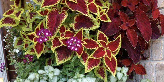 نبات الكوليوس او السجادة