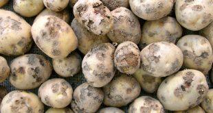 الحرب العادي في البطاطس